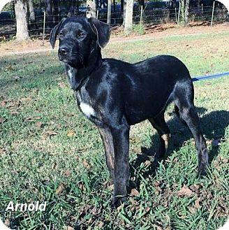 Labrador Retriever Mix Puppy for adoption in East Hartford, Connecticut - Arnold-pending adoption
