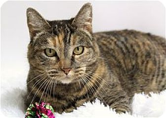 Domestic Shorthair Cat for adoption in Lincoln, California - Shelly
