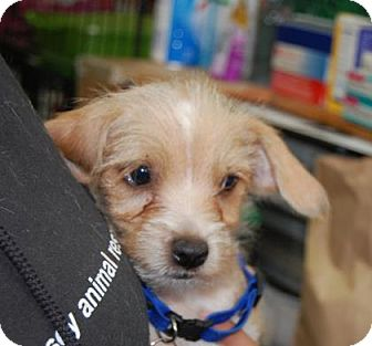 Chihuahua Mix Puppy for adoption in Brooklyn, New York - Max