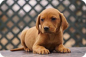 Labrador Retriever/Retriever (Unknown Type) Mix Puppy for adoption in Westport, Connecticut - *Yogi - PENDING