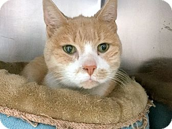 Domestic Shorthair Cat for adoption in Philadelphia, Pennsylvania - Cinnamon