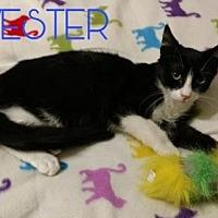 Adopt A Pet :: SYLVESTER - Lawton, OK