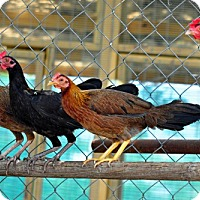 Adopt A Pet :: The Coop Group - Christmas, FL