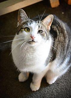 Domestic Shorthair Cat for adoption in Fishkill, New York - Gnocchi