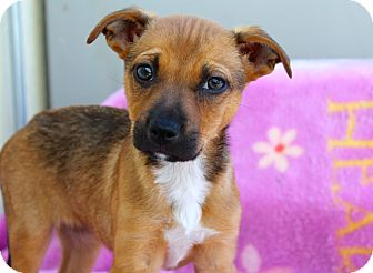 Shepherd (Unknown Type)/Border Collie Mix Puppy for adoption in Los Angeles, California - Dana