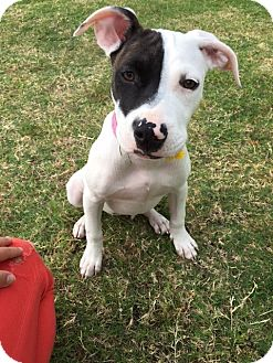 American Pit Bull Terrier Puppy for adoption in Houston, Texas - Jazzy Walker