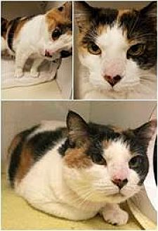 Domestic Shorthair Cat for adoption in Herndon, Virginia - Louise (& Tina)
