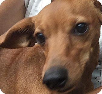 Dachshund Mix Puppy for adoption in Loxahatchee, Florida - Sandro