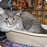 Domestic Longhair Cat for adoption in Rochester, Minnesota - Bam Bam