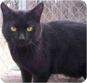 Domestic Shorthair Cat for adoption in Cold Lake, Alberta - Shayna
