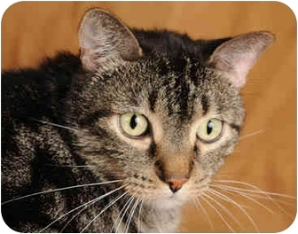 Domestic Shorthair Cat for adoption in Chicago, Illinois - Dido