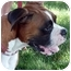 Photo 4 - Boxer Mix Dog for adoption in Sacramento, California - Shasta loving