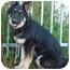 Photo 3 - German Shepherd Dog Mix Puppy for adoption in Los Angeles, California - Lulu von Laubach