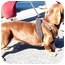 Photo 4 - Dachshund Dog for adoption in Portsmouth, Rhode Island - Cocoa