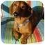 Photo 1 - Dachshund Dog for adoption in San Jose, California - Ricky