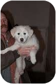 Great Pyrenees Mix Puppy for adoption in Okotoks, Alberta - Abby