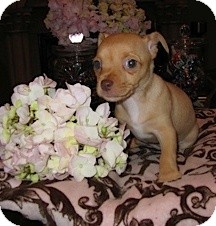 Chihuahua Mix Puppy for adoption in San Diego, California - Sophia