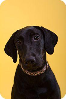Labrador Retriever Mix Dog for adoption in hollywood, Florida - Tally