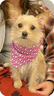 Cairn Terrier Mix Dog for adoption in Sacramento, California - Honey 6 pounds