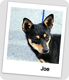 Miniature Pinscher Mix Dog for adoption in North Little Rock, Arkansas - Joe