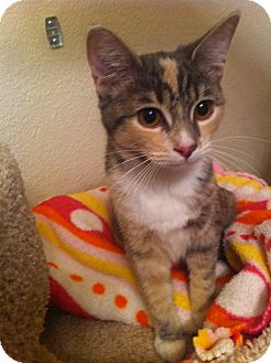 Domestic Shorthair Cat for adoption in Fountain Hills, Arizona - NOELLE