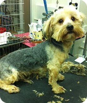 Yorkie, Yorkshire Terrier Puppy for adoption in Lexington, Kentucky - Buddy