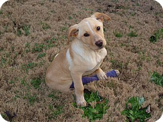 Labrador Retriever/Cattle Dog Mix Puppy for adoption in Starkville, Mississippi - Lucky