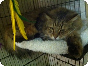 Maine Coon Cat for adoption in Huntington Station, New York - SHADOW