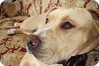 Labrador Retriever/American Bulldog Mix Dog for adoption in Whites Creek, Tennessee - Norma Rose 'ROSIE'