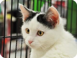 Domestic Shorthair Kitten for adoption in Great Falls, Montana - Nike