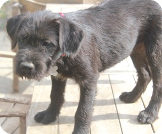 Schnauzer (Giant) Mix Dog for adoption in Norwalk, Connecticut - Sweet Pea - Meet Her!