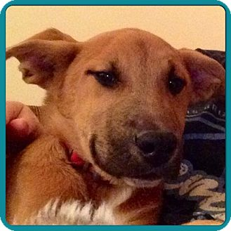 German Shepherd Dog/Labrador Retriever Mix Puppy for adoption in Eden Prairie, Minnesota - GINGER