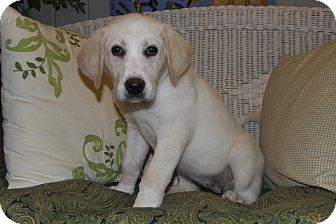 Labrador Retriever/Great Pyrenees Mix Puppy for adoption in Hagerstown, Maryland - Alexi Lou