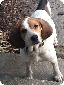 Beagle Mix Dog for adoption in Richmond, Virginia - Comet