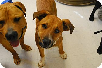 Australian Cattle Dog/Border Collie Mix Dog for adoption in Twin Falls, Idaho - Polo