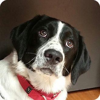 English Springer Spaniel/Border Collie Mix Dog for adoption in Lisbon, Ohio - Clark