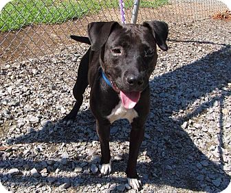 American Pit Bull Terrier/Labrador Retriever Mix Dog for adoption in sanford, North Carolina - Emma