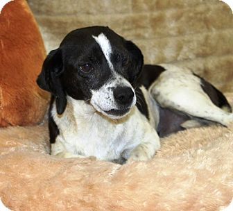 Rat Terrier Mix Dog for adoption in Minneapolis, Minnesota - Gracie