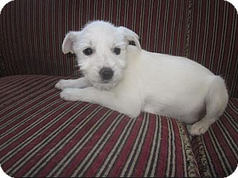 Schnauzer (Standard) Mix Puppy for adoption in Hainesville, Illinois - Kingsley