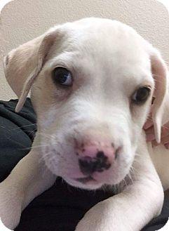St. Bernard/American Bulldog Mix Puppy for adoption in Henderson, Nevada - Baltic