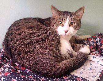 Domestic Shorthair Cat for adoption in Port Clinton, Ohio - Oscar