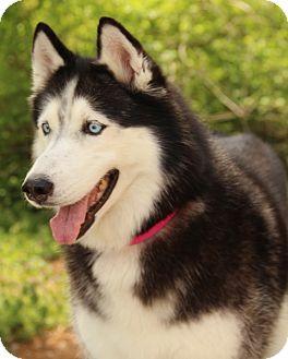 Siberian Husky Dog for adoption in O Fallon, Illinois - Mishka