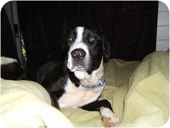 Border Collie/St. Bernard Mix Dog for adoption in Port Alberni, British Columbia - Bailey