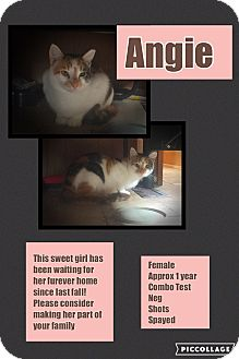 Domestic Shorthair Cat for adoption in CLEVELAND, Ohio - Angie