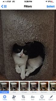 Domestic Shorthair Cat for adoption in Bloomingburg, New York - BISCUIT