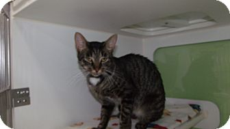 Domestic Shorthair Cat for adoption in Muskegon, Michigan - rosey