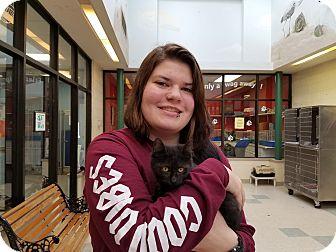 Domestic Shorthair Kitten for adoption in Elyria, Ohio - Smokie
