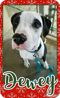 Great Dane Mix Dog for adoption in Edwards AFB, California - Dewey
