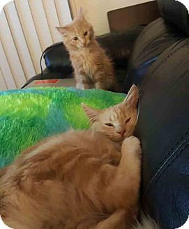 Domestic Mediumhair Kitten for adoption in Gaithersburg, Maryland - Popeye