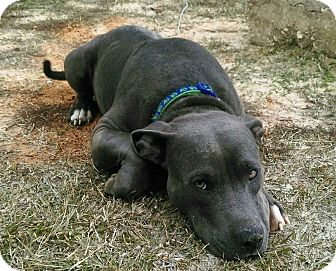 Staffordshire Bull Terrier/Labrador Retriever Mix Dog for adoption in Union Springs, Alabama - Rozza